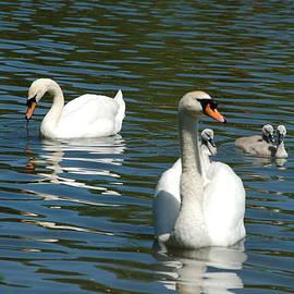 Fishing Lake Swan Family by Lynne Iddon