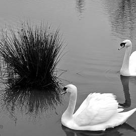 Fishing Lake Swans by Lynne Iddon