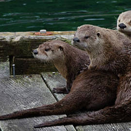 Five Wild Otters by Bob Christopher