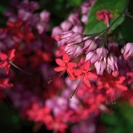 Flaming Glory Bower Flower of Vanuatu by Heidi Fickinger