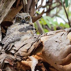 Great Horned Owl Fledgling in Eucalyptus Tree  by Robert Goodell