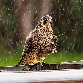 Fledgling In The Rain by Morris Finkelstein