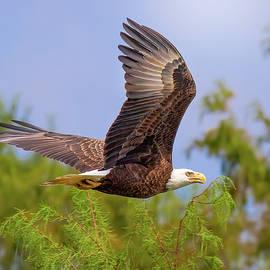 Flight of the Bald Eagle by Mark Andrew Thomas
