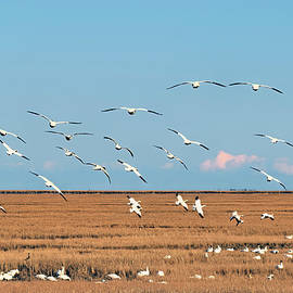 Flight of the snow geese by Geraldine Scull