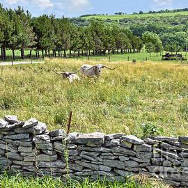 Flint Hills Longhorn Cattle by Catherine Sherman