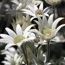 Flock of Flannel Flowers by Siene Browne
