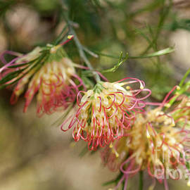 Grevillea Flora Mason by Elaine Teague