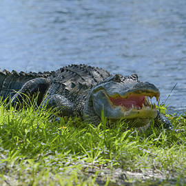 Florida alligator on the grass at the lake by Zina Stromberg