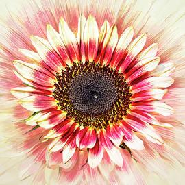 Floristan Sunflower Explosion by Marcia Colelli