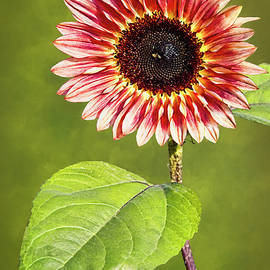 Floristan Sunflower by Marcia Colelli