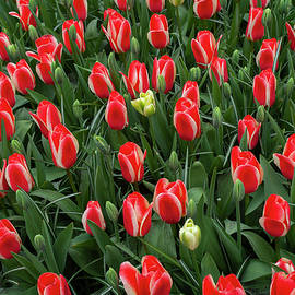 Flower Power. Tulips Heat's Delight and Virichic 2 by Jenny Rainbow