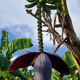 Flowering Banana Tree with Bananas by Julieanne Case