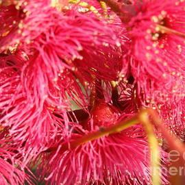Flowers of South Australian Native Blue Gum. by Rita Blom