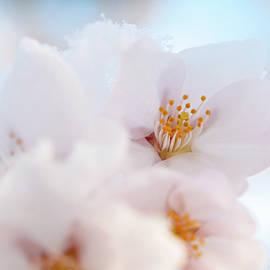 Flowers of Yoshino Cherry Macro by Jenny Rainbow