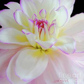 Flowers Pink Blush Dahlia by Janie Easley Ballard
