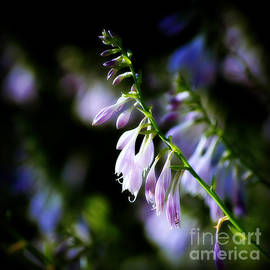 Flowers Purple and Sunlight - square by Frank J Casella