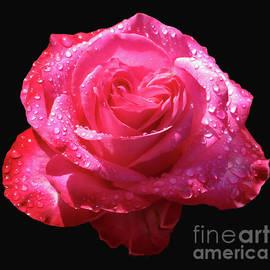 Flowers  Rose And Rain Drops by Janie Easley Ballard