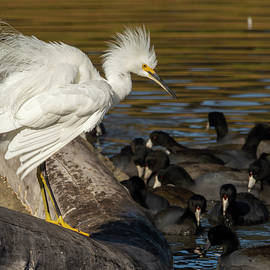 Fluffed Egret with Coots 12/01 by Bruce Frye