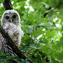 Fluffy Barred Owl by Shelly Gunderson