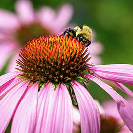 Fluffy Bumblebee on a Purple Coneflower 2 by Dimitry Papkov