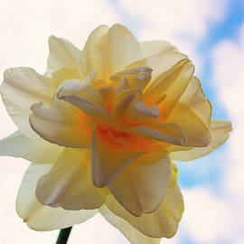 Fluffy Daffodil in the Sky by Denise Harty