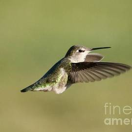 Fluffy Hummingbird by Carol Groenen