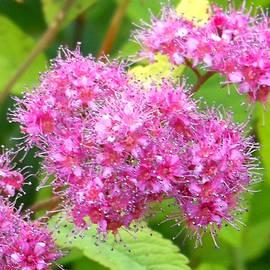 Fluffy Pink Flowers by Jean Merrill