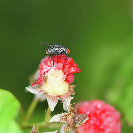 Fly on Raspberry by Megan McCarty