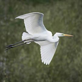 Flying Egret by Tobias Luxberg