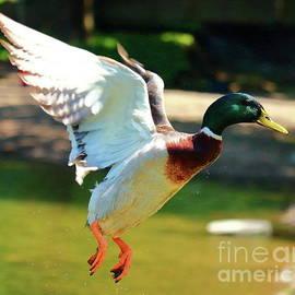 Flying Mallard by Atiqur Rahman
