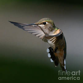 Flying Rufous by Lisa Manifold