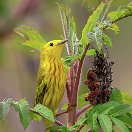 Foraging Yellow Warbler by Dale Kincaid