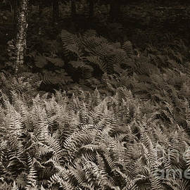 Forest of Ferns by Alana Ranney