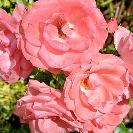 Forever Rosy by Lynne Iddon