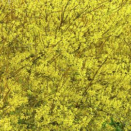 Forsythia Bloom Explosion by Robert Tubesing