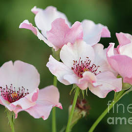 Four Rosa Persica Flowers by Janice Noto
