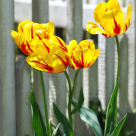 Four Yellow and Red Tulips by Marilyn De Block
