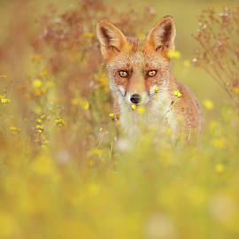 Fox Bouquet - The fox and the flowers by Roeselien Raimond