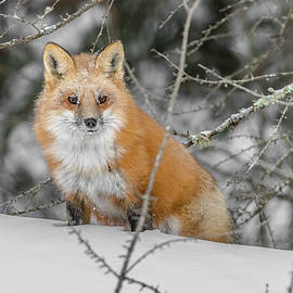 Fox In The Snow #1 by Morris Finkelstein