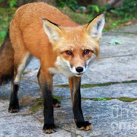 Fox Looking for Food by Nina Silver