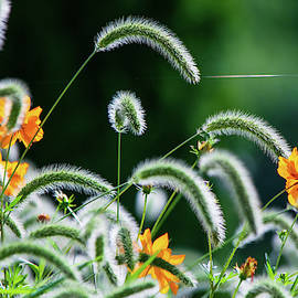 Foxtail and Cosmos by Mary Ann Artz