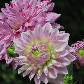 Fresh as a Dahlia - Dahlia Art - Floral Photography - Dahlias by Brooks Garten Hauschild