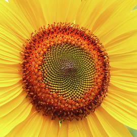 Fresh as a Daisy Sunflower - Floral Photography - Sunflowers as Art by Brooks Garten Hauschild