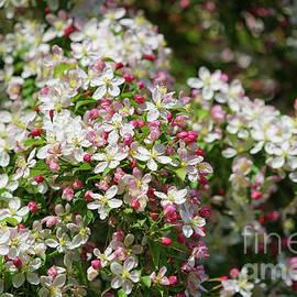 Fresh Blossoms by Jane Tomlin