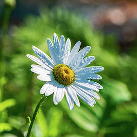 Fresh Daisy by Mary Ann Artz
