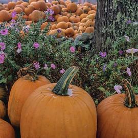 Fresh Harvest Pumpkins by Alana Ranney