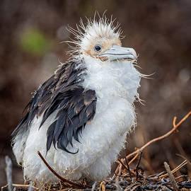 Frigatebird Chick Galapagos by Joan Carroll