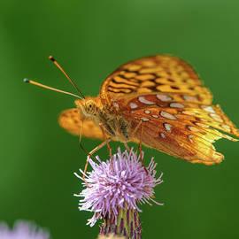 Fritillary Butterfly by Paul Freidlund