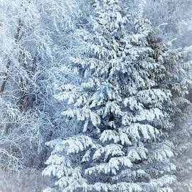 Frosted Pines by Lori Frisch