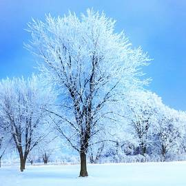 Frosted Trees  by Lori Frisch